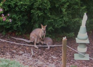 Wallaby and joey - backyard hodgsonvale