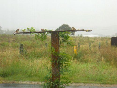 Finches in the rain10